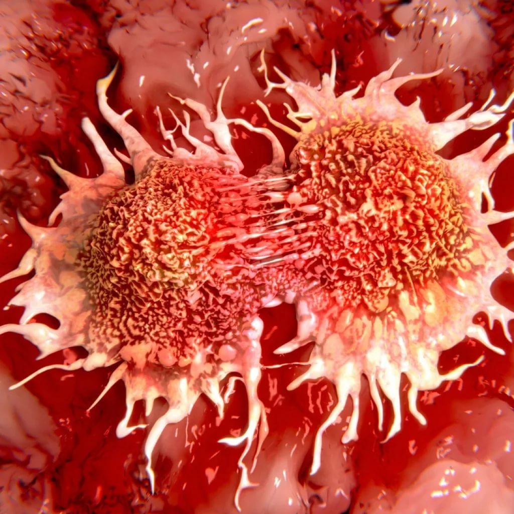 Кипрей при лечении рака